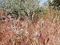 Astragalus andersonii (34535774523).jpg