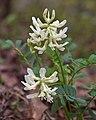 Astragalus soxmaniorum.jpg