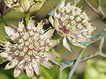 Astrantia major0.jpg