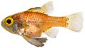 Astrapogon puncticulatus - pone.0010676.g073.png