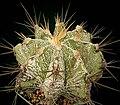 Astrophytum ornatum2 ies.jpg