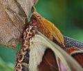 Atlas Seidenspinne Nahaufnahme Park Uslar 6.jpg