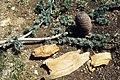 Atlas cedar - branches all ways (Horiz. In Descending in) (37497615900).jpg