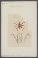Atypus - Print - Iconographia Zoologica - Special Collections University of Amsterdam - UBAINV0274 068 14 0024.tif