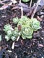 Auntie Dawn's garden (3313677970).jpg