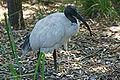 Australian-White-Ibis,-Vic,-3.1.2008.jpg