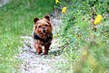 Australian Terrier Melly (1).JPG