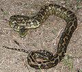 Australian carpet python 03 new.jpg
