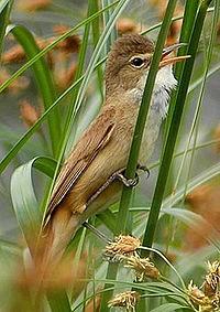 Australianreedwarbler