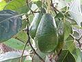 Avocado 19.JPG