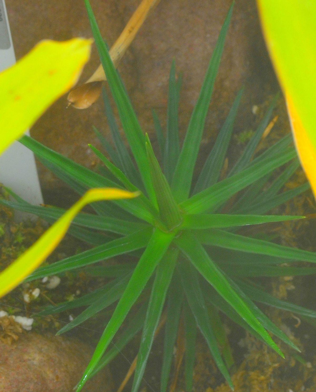 Ayensua uaipanensis wikidata for Jardin botanique