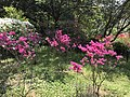 Azalea flowers in Mifuneyama Garden 7.jpg
