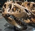 B-rex skull.jpg