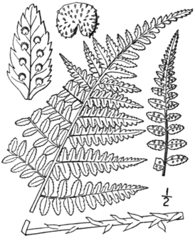 BB-0049 Dryopteris boottii.png