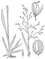 BB-0336 Panicum laxiflorum.png