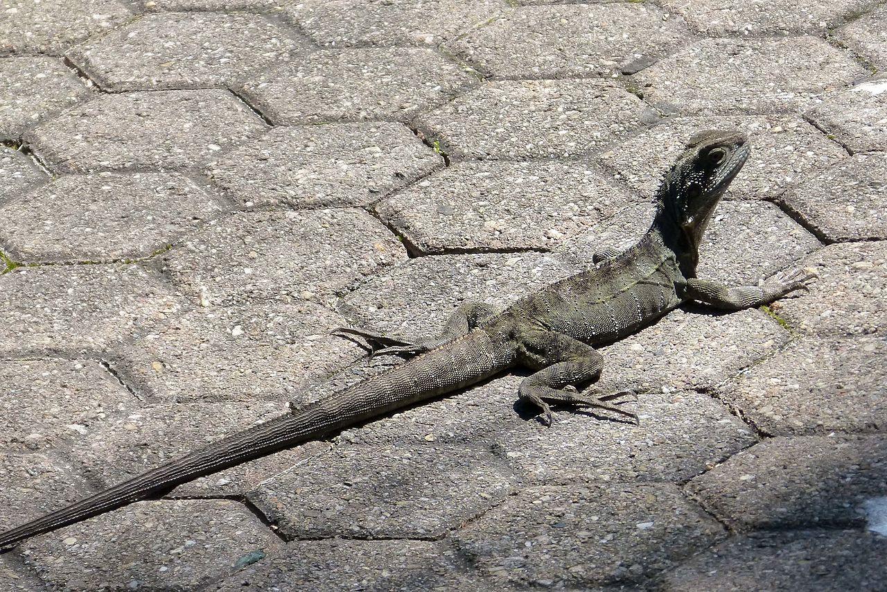File Baby Eastern Water Dragon Intellagama Lesueurii Flickr