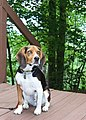 Bailey at Hammack Cabin Deck.jpg