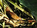 Baillon's Crake Porzana pusilla by Dr. Raju Kasambe DSCN0655 (3).jpg