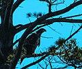 Bald Eagle (Haliaeetus leucocephalus) (40964921982).jpg