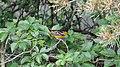 Baltimore Oriole (Icterus galbula) - Guelph, Ontario.jpg