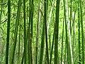 Bamboo 竹林 (5811998852).jpg