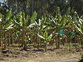 Banana crop Wamuran Queensland.jpg