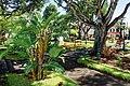 Bananen wachsen im Park von Santa Cruz, Madeira.jpg