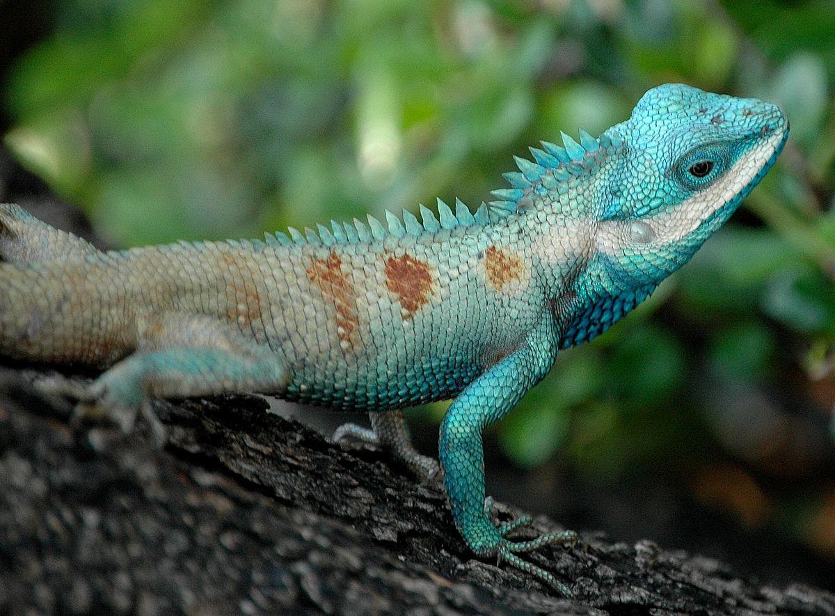 H D Reptiles Calotes mystace...