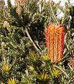Banksia ericifolia cult email.jpg