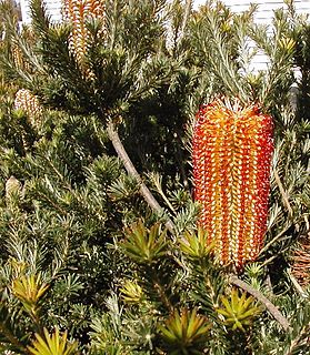 <i>Banksia ericifolia</i> A woody shrub of the family Proteaceae native to Australia and found in Central and Northern New South Wales