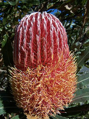 Banksia sect. Banksia - Inflorescence of Banksia menziesii, a member of Banksia sect. Banksia.