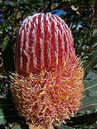 Anthesis - The sequential anthesis of the individual flowers in this Banksia menziesii inflorescence has begun.