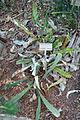 Banksia petiolaris - Bergianska trädgården - Stockholm, Sweden - DSC00347.JPG
