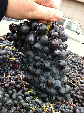 Barbera - Cluster of Barbera grapes
