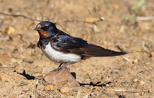 Barn swallow, Hirundo rustica, at Suikerbosrand Nature Reserve, Gauteng, South Africa (23006974909)