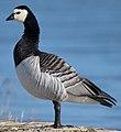 Barnacle-Goose (cropped).jpg