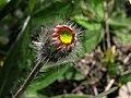 Barras rojas - Hieracium pilosella (9019506814).jpg
