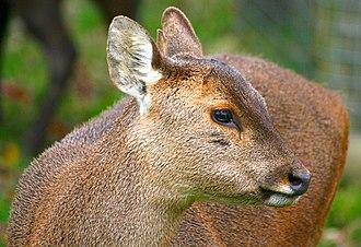 Hyelaphus - A Bawean deer