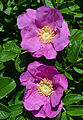 Beach Rose Rosa rugosa Two Flowers.jpg