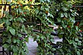 Bean cultivation in a beer garden at Nuthurst West Sussex England.jpg