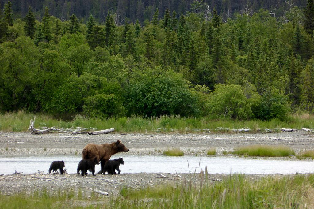 Bear-with-3-spring-cubs-6-19-2014 (14438348146)