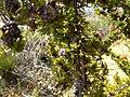 Beaufortia cyrtodonta (fruits).JPG