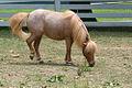 Beautiful Little Roan Miniature Horse at the Kentucky Horse park (5966903656).jpg