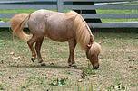 Beautiful Little Roan Miniature Horse at the Kentucky Horse park (5966903656).jpg