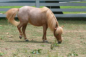 """Roan (horse) - Red roan, sometimes called """"Strawberry roan"""""""