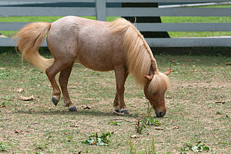 "Roan (horse) - Red roan, sometimes called ""Strawberry roan"""