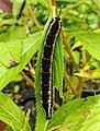 Beautiful black caterpillar.jpg