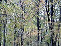 Beech trees - Nov 2012 - panoramio (1).jpg