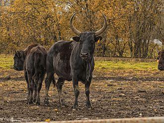 Beefalo - Female beefalo and calf.