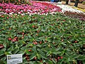 Begonia Dragon wings from Lalbagh flower show Aug 2013 7877.JPG